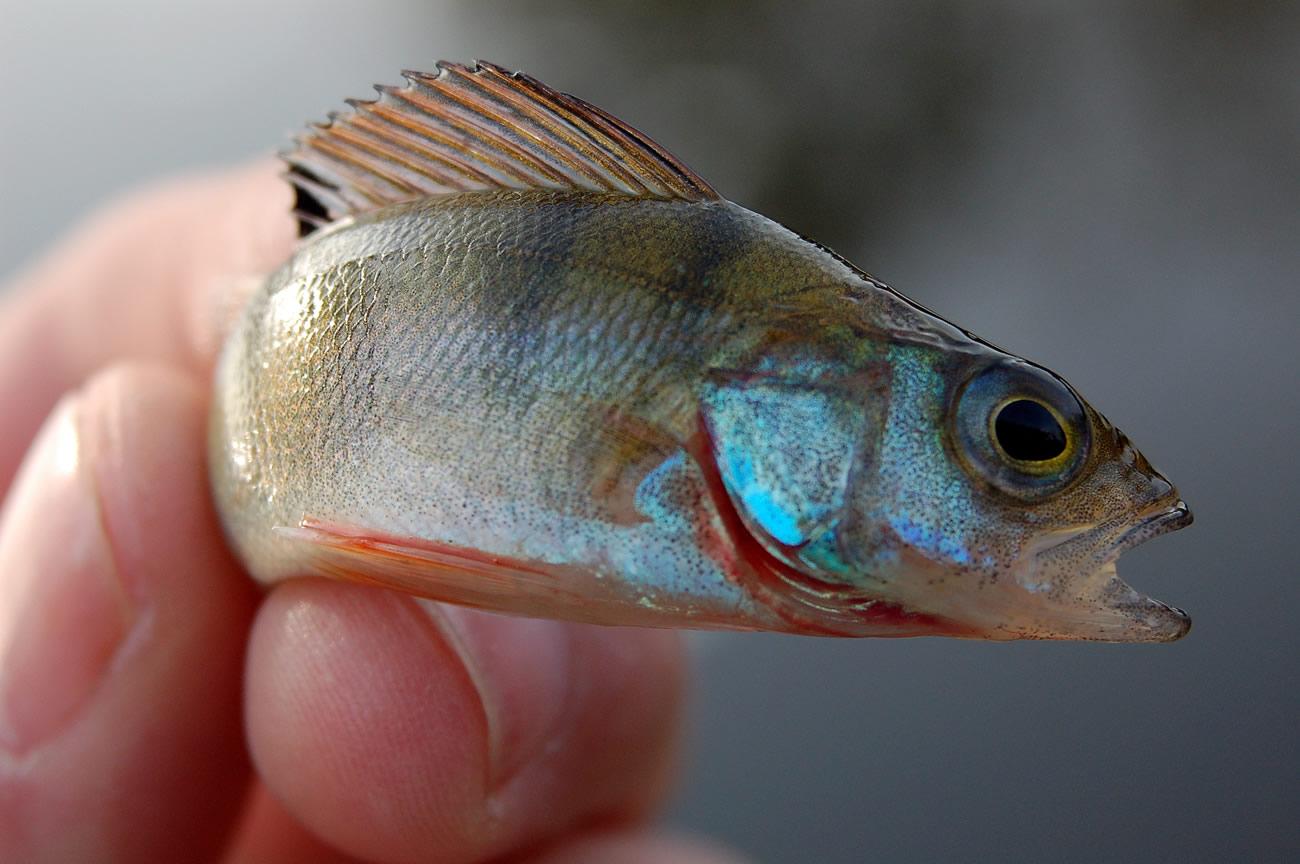 Photo of 5 Baars vissen tips